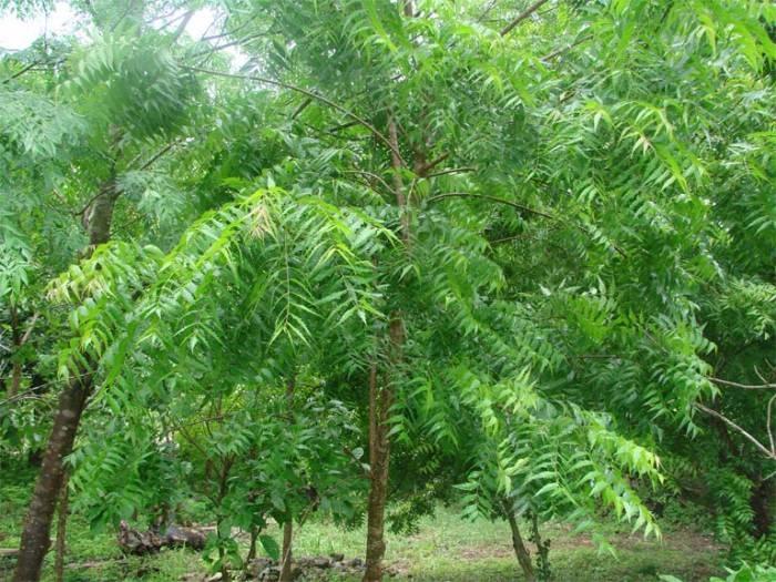 فوائد شجرة النيم سواليف